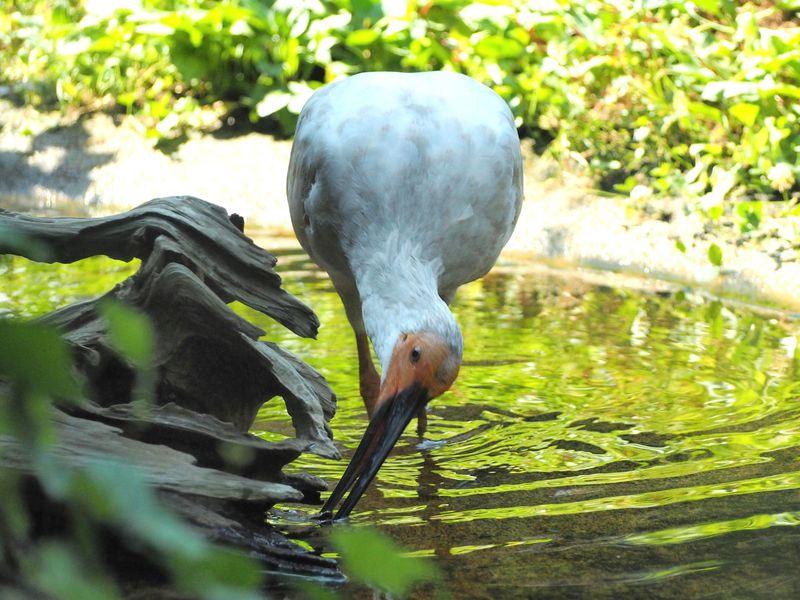 佐渡「トキの森公園」で会える美しい朱鷺!『けものフレンズ』コラボも