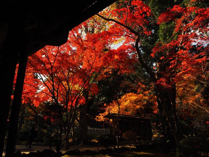 秋、美しく紅葉に染まる豪徳寺