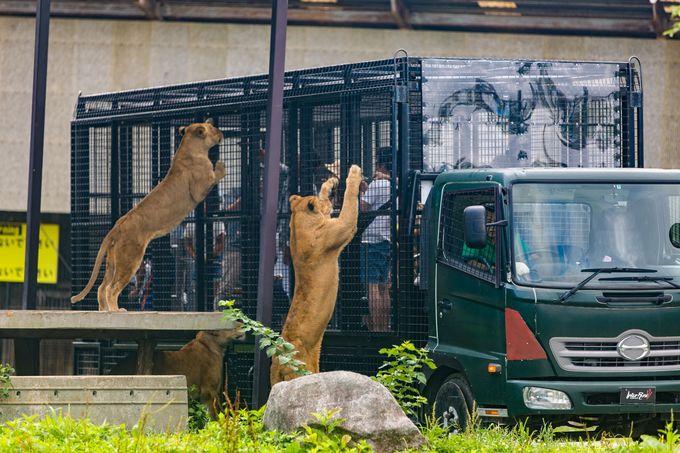 肉食動物エリアでライオンにドキドキえさやり!