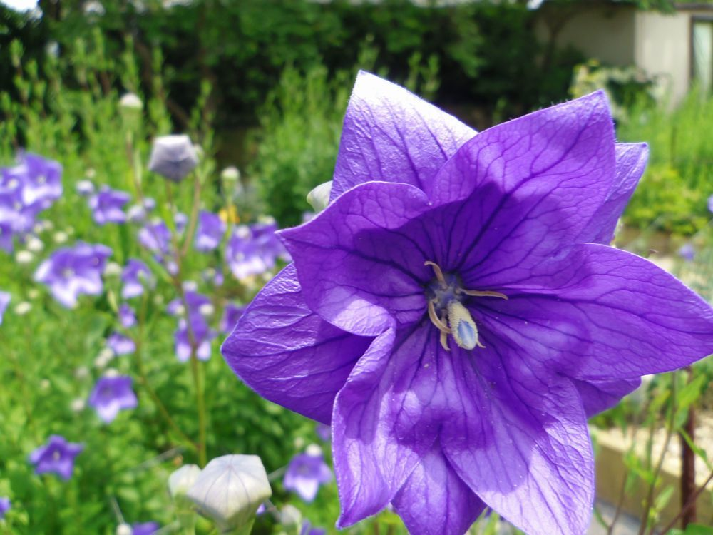 香勝寺のききょう庭園で見られる品種は15種類!