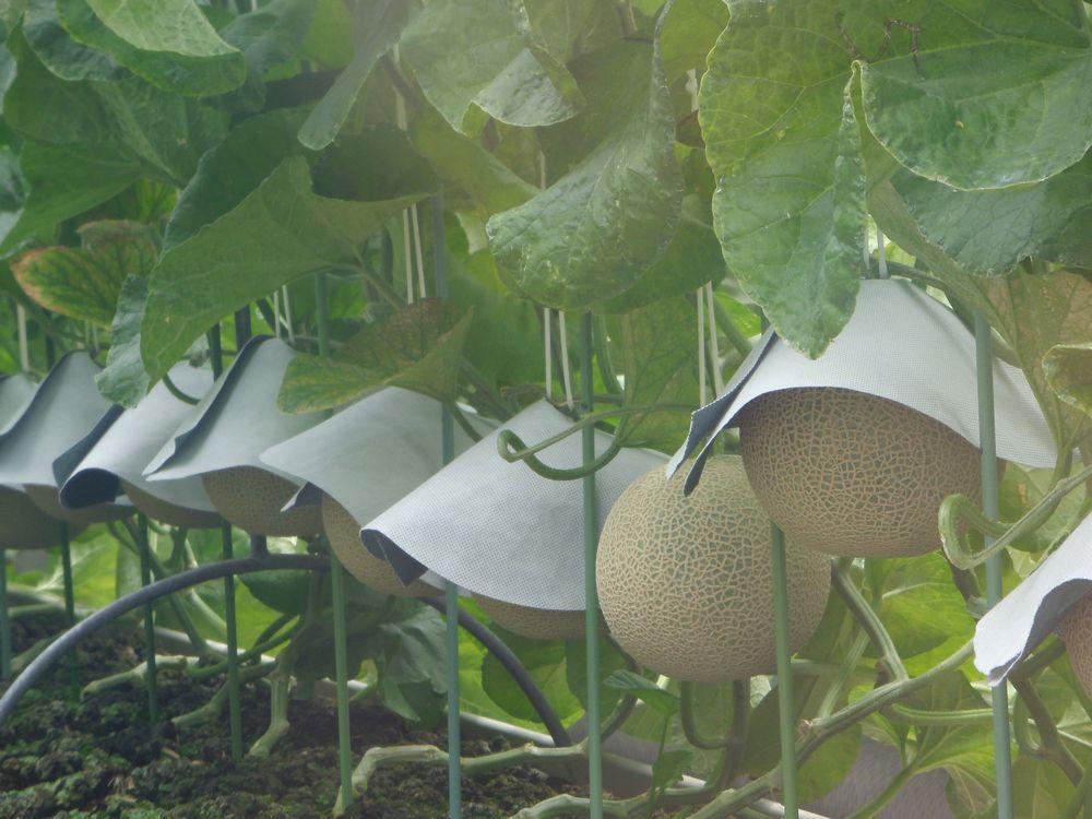 1本の木に1玉。マスクメロン栽培の極意を見る