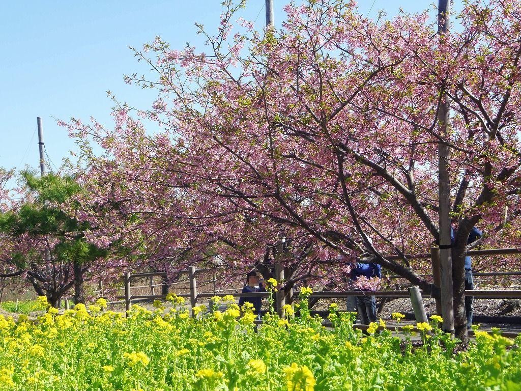 カーブの先にも続く桜並木