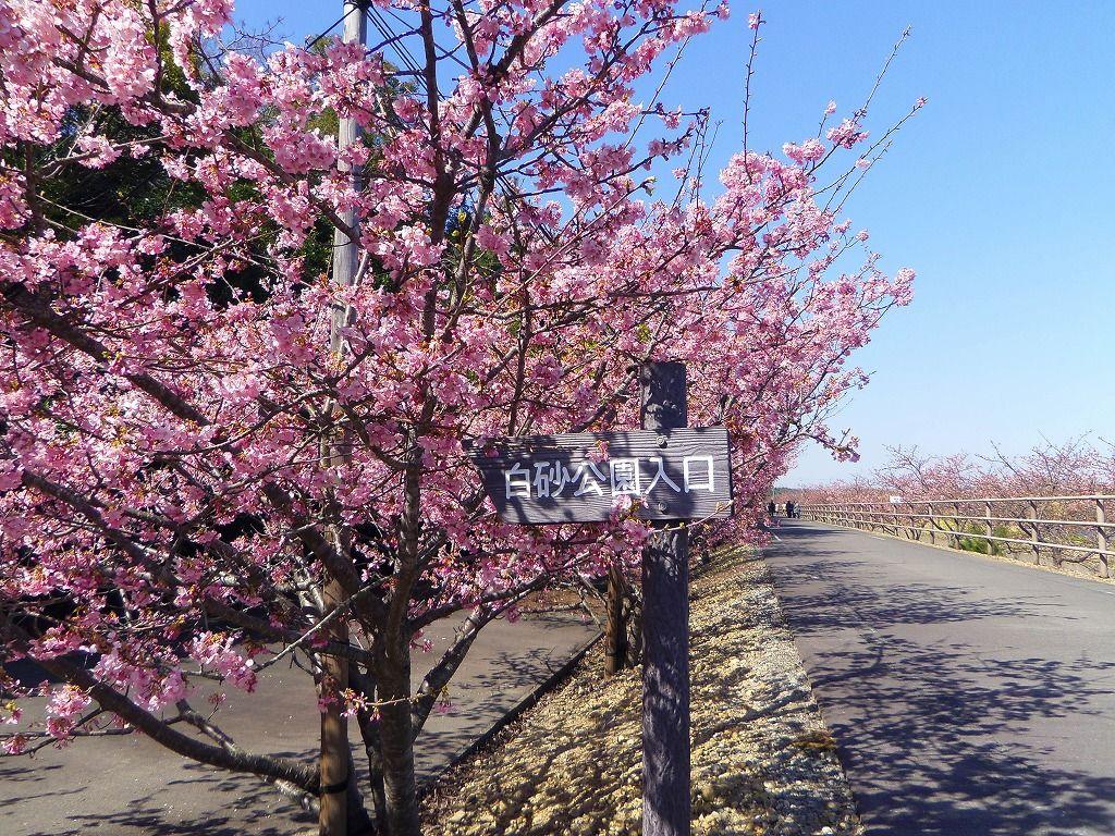 歩きやすいと評判!600メートル続く河津桜の並木道