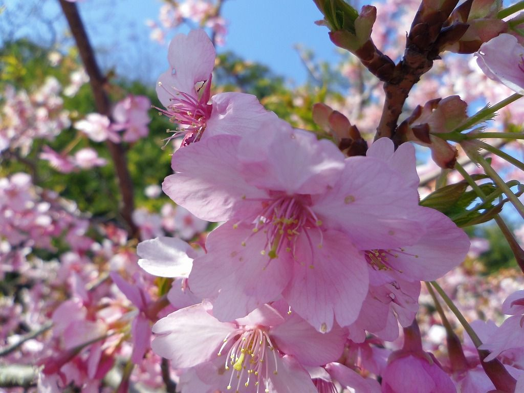 手を伸ばせば届いてしまう!眼前で咲く河津桜