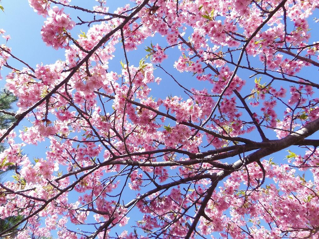 河津桜の新名所・静岡御前崎「浜岡砂丘白砂公園の河津桜並木」と浜岡砂丘