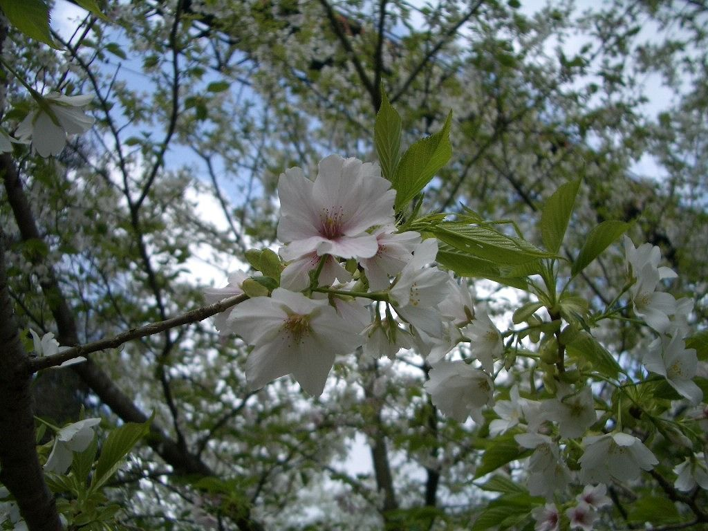 桜とのお花見が楽しめるかも!?