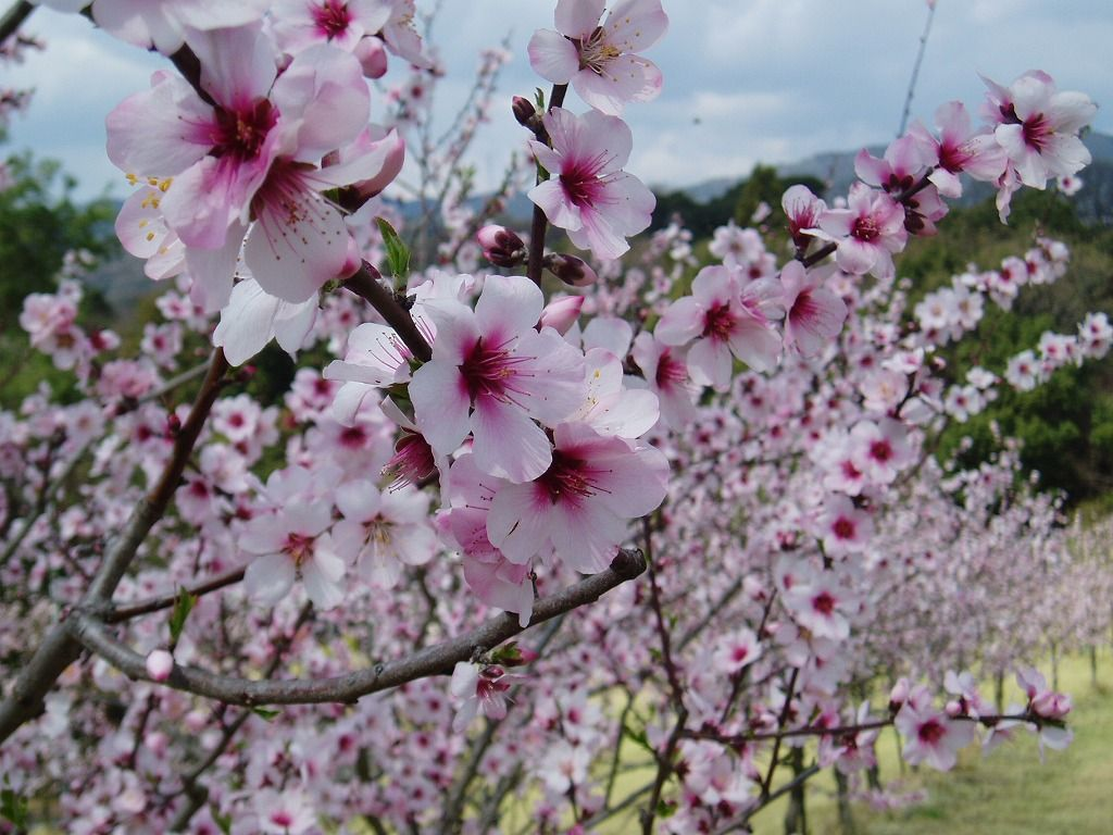 桜!?桃!?いえいえ、これがアーモンドの花です