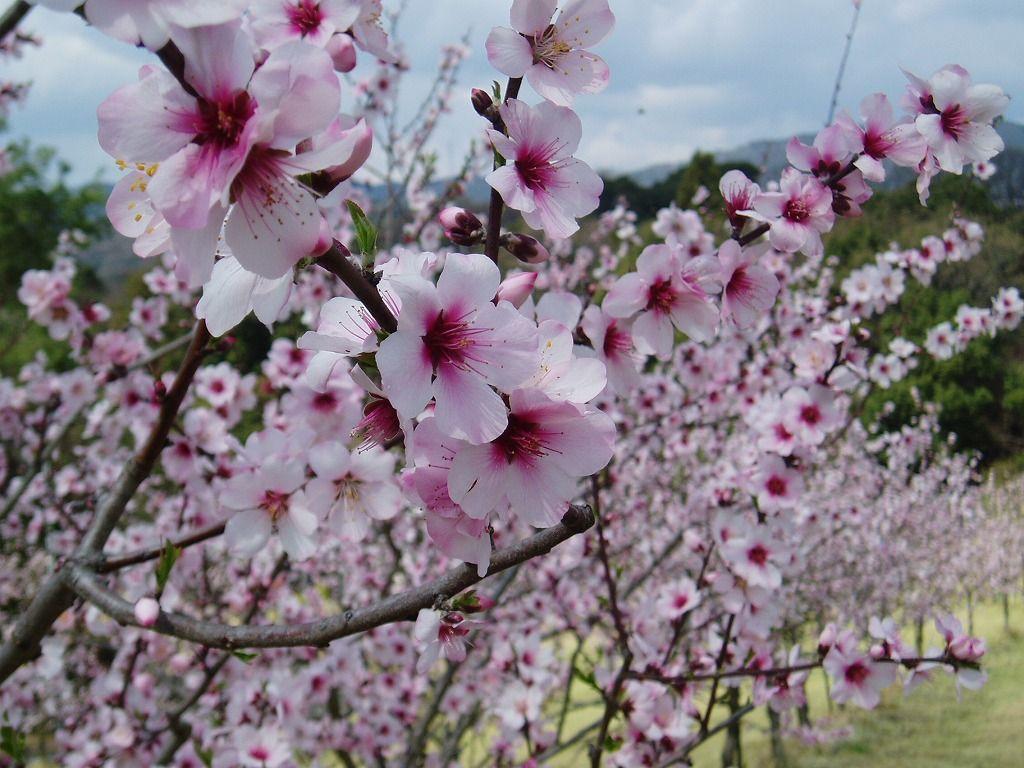 国内最大級!華やかなアーモンドのお花見は「はままつフルーツパーク時之栖」で