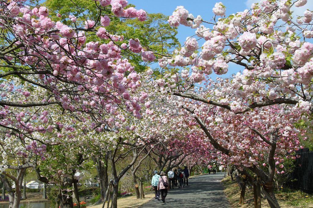 八重桜のトンネルがすごい!浜名湖「はままつフラワーパーク」