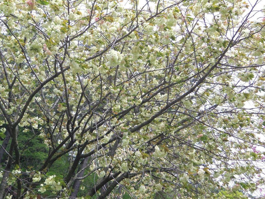 春爛漫!八重桜のトンネル