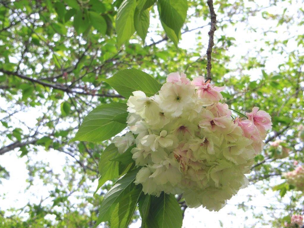 ソメイヨシノとは異なる魅力の花が次々に開花