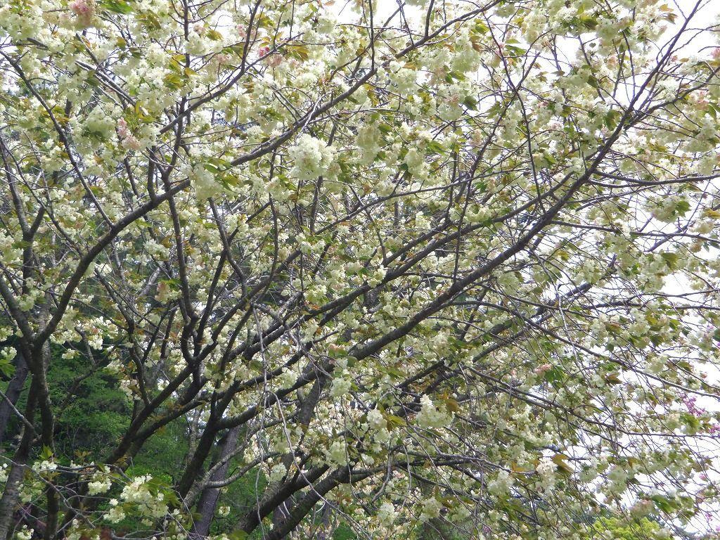 春爛漫♪八重桜のトンネル