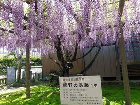 1メートル超の花房が薫る・静岡磐田「熊野の長藤」は幽雅な世界