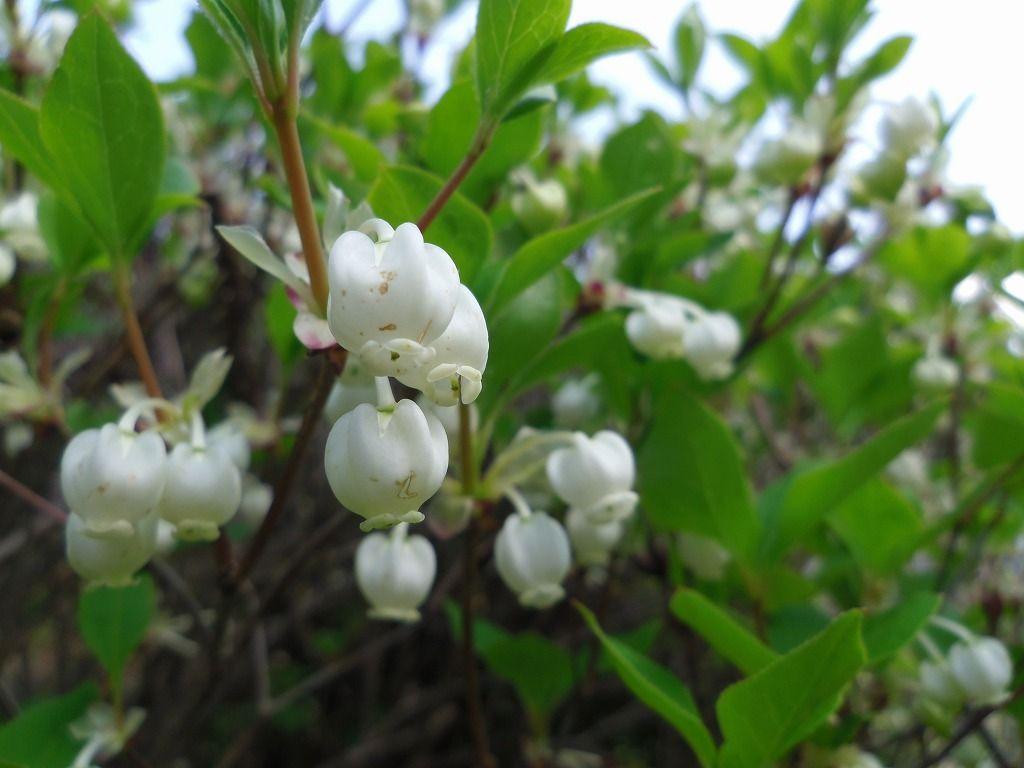 4月中旬にはドウダンツツジの可憐な花も