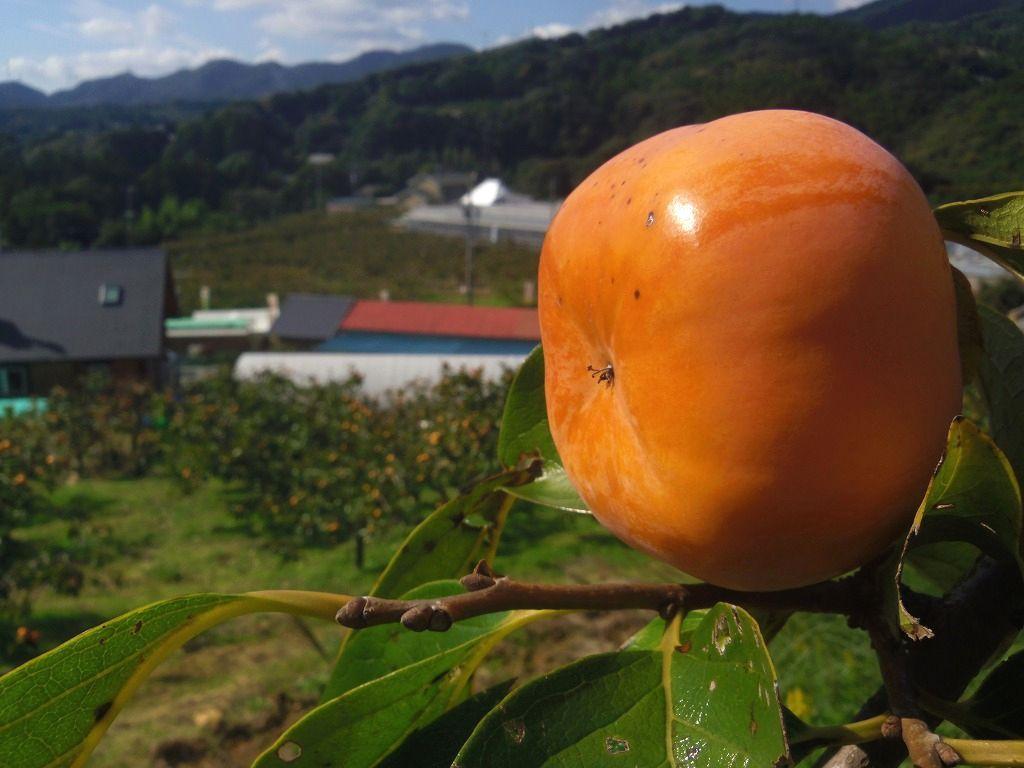 甘〜い次郎柿が食べ放題!浜松浜北「足立柿園」