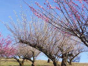 丘に香る3000本の梅!静岡磐田「豊岡梅林」