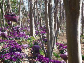 青いシクラメンも!静岡「浜名湖ガーデンパーク」で四季の花めぐり