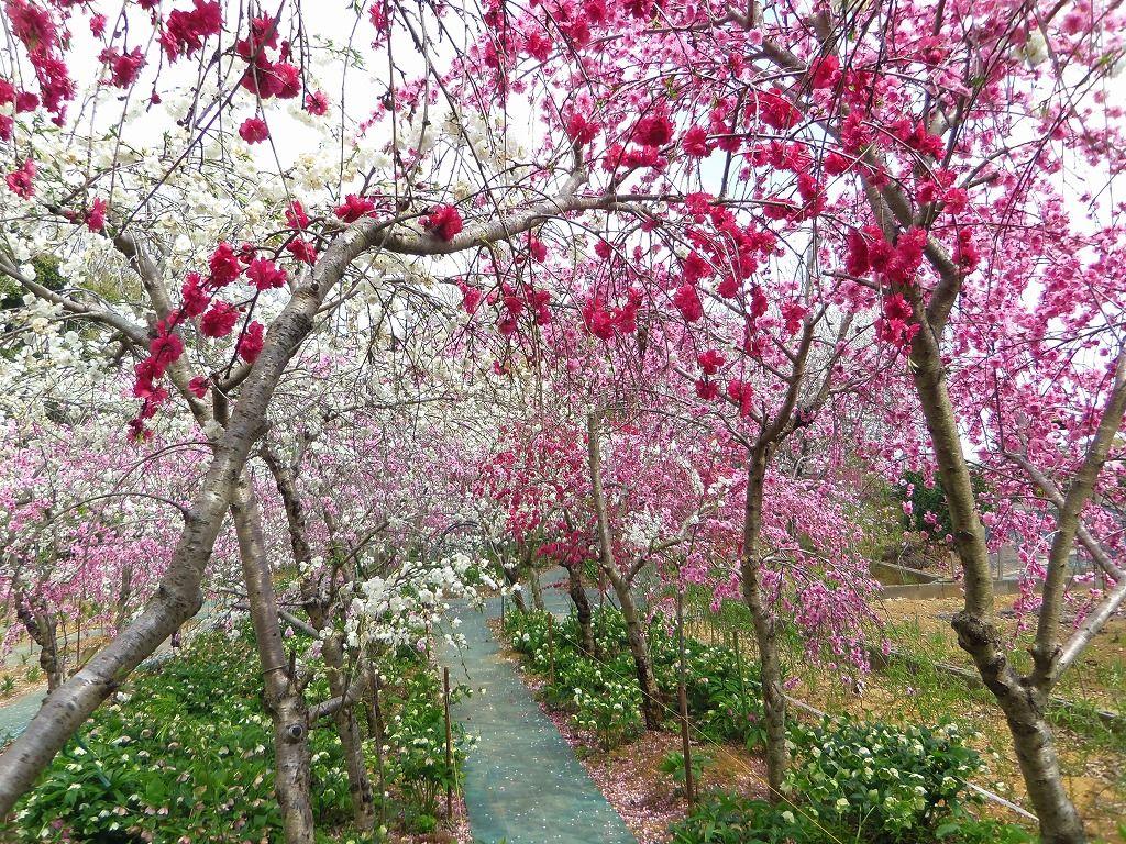 4月上旬からは花桃!橋や花のトンネルも