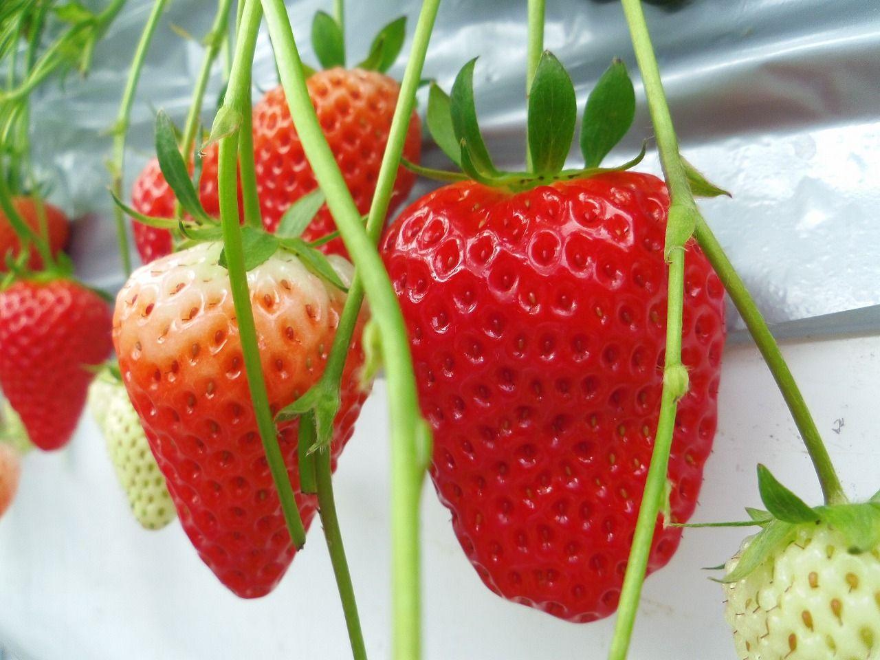 イチゴ界の新品種、その名は「きらぴ香」