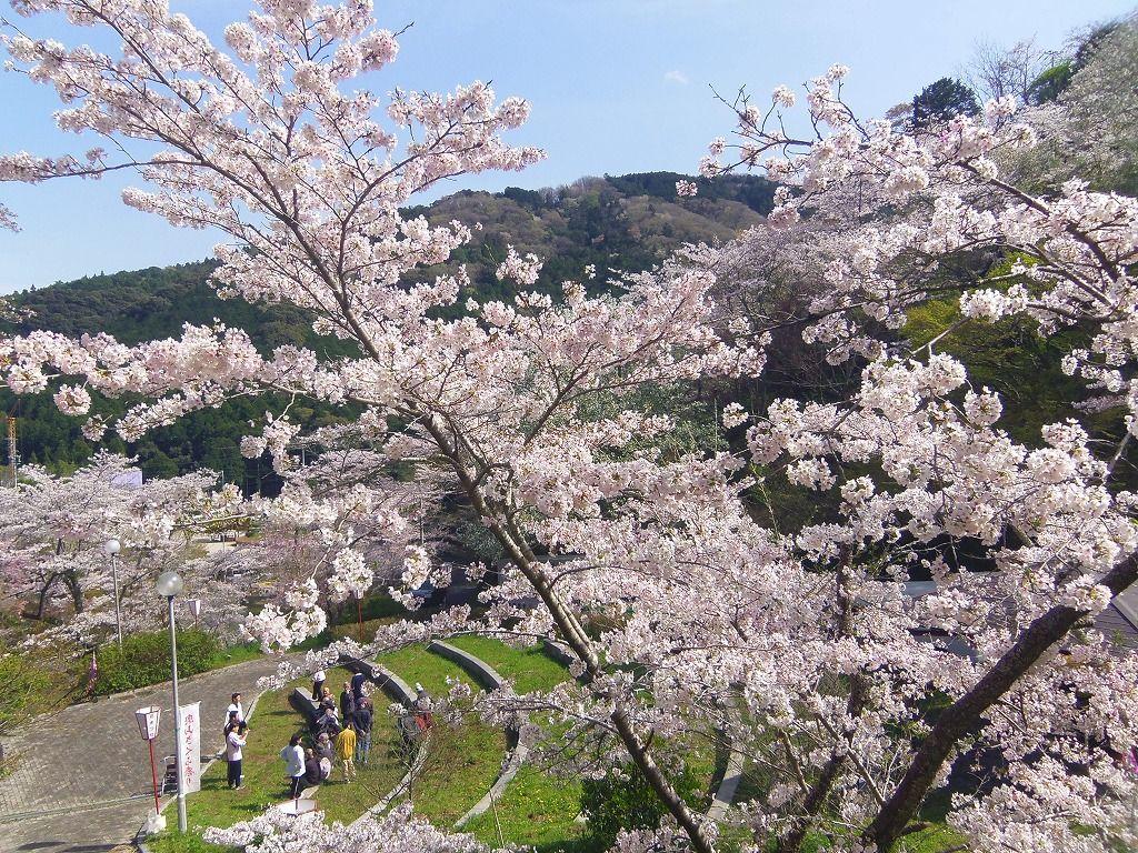 1,000本の桜が古刹の門前を彩る