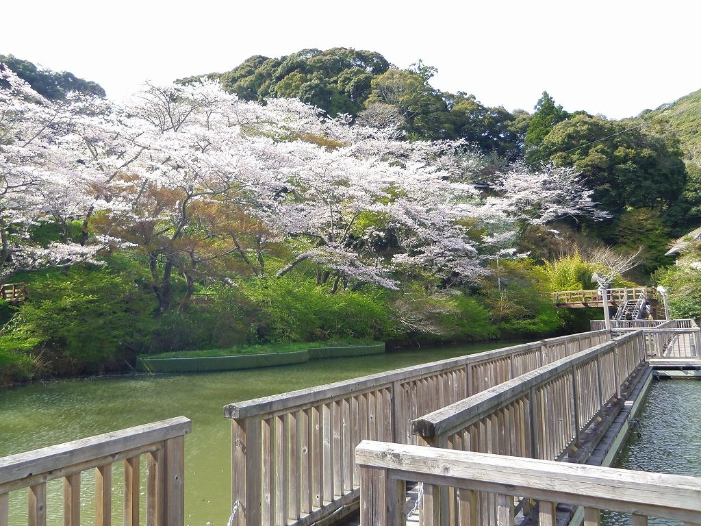 浜松「奥山公園」の桜は浮橋からの観桜が人気!