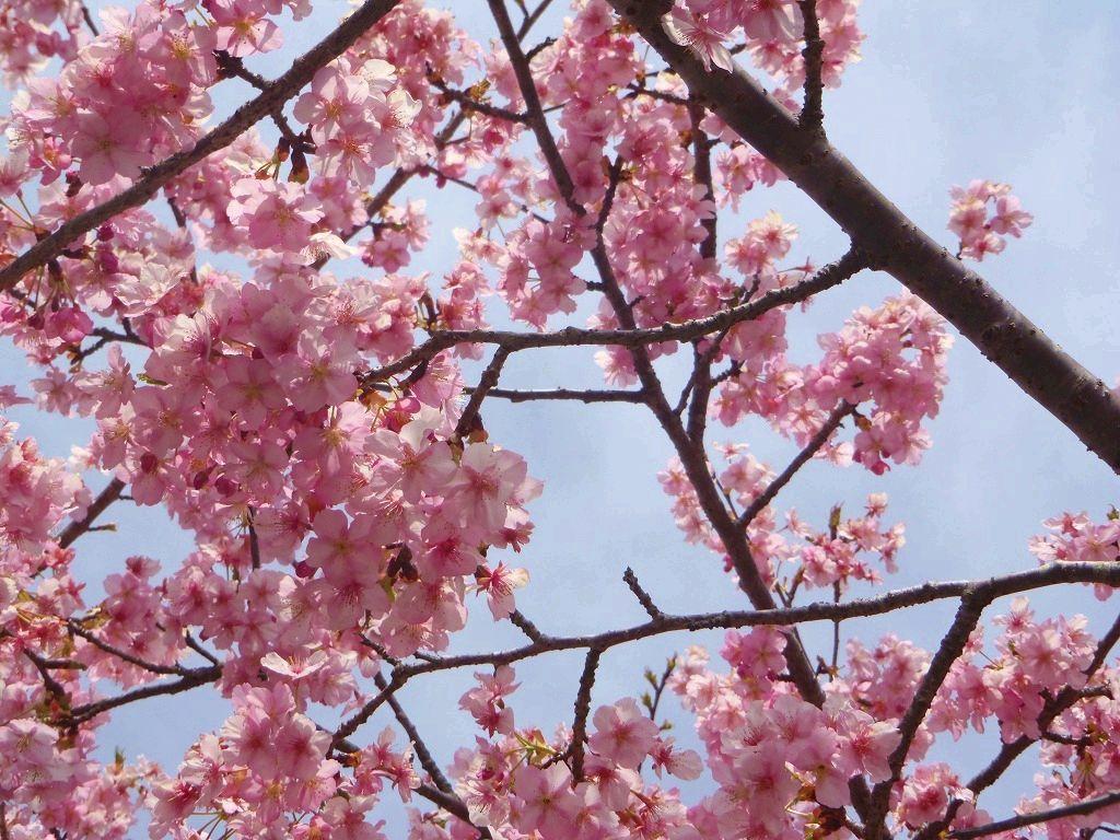 散歩道福田沢は隠れた桜の名所