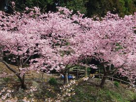 秘密にしたい!河津桜の名所・静岡御前崎「散歩道福田沢」