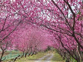 ダム湖畔を彩る花桃!浜松天竜「花桃の里ガーデン」