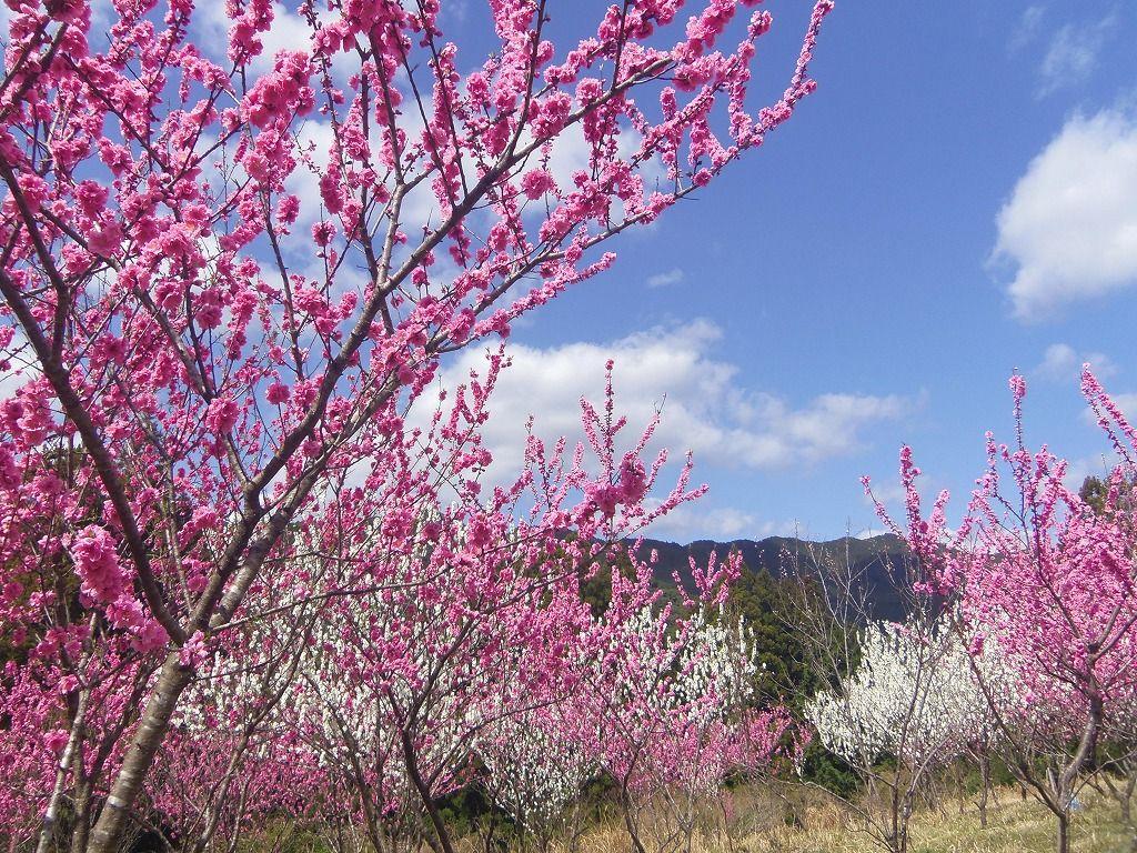 山を借景に!白とピンクの共演