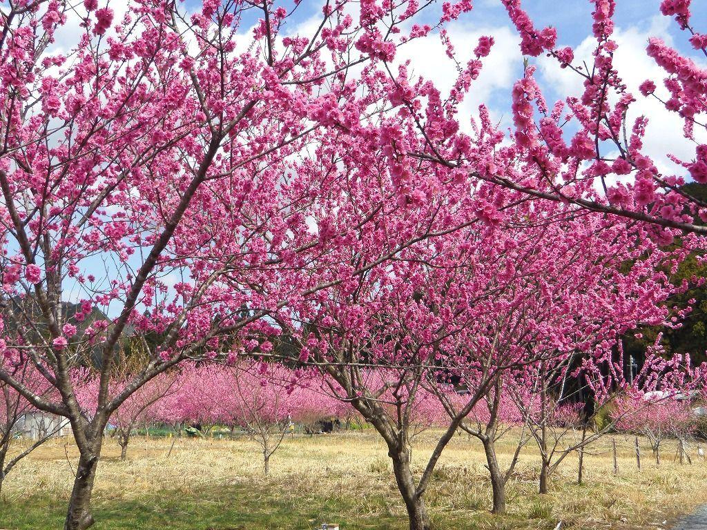 ダム湖畔の花桃畑!花桃の里ガーデン