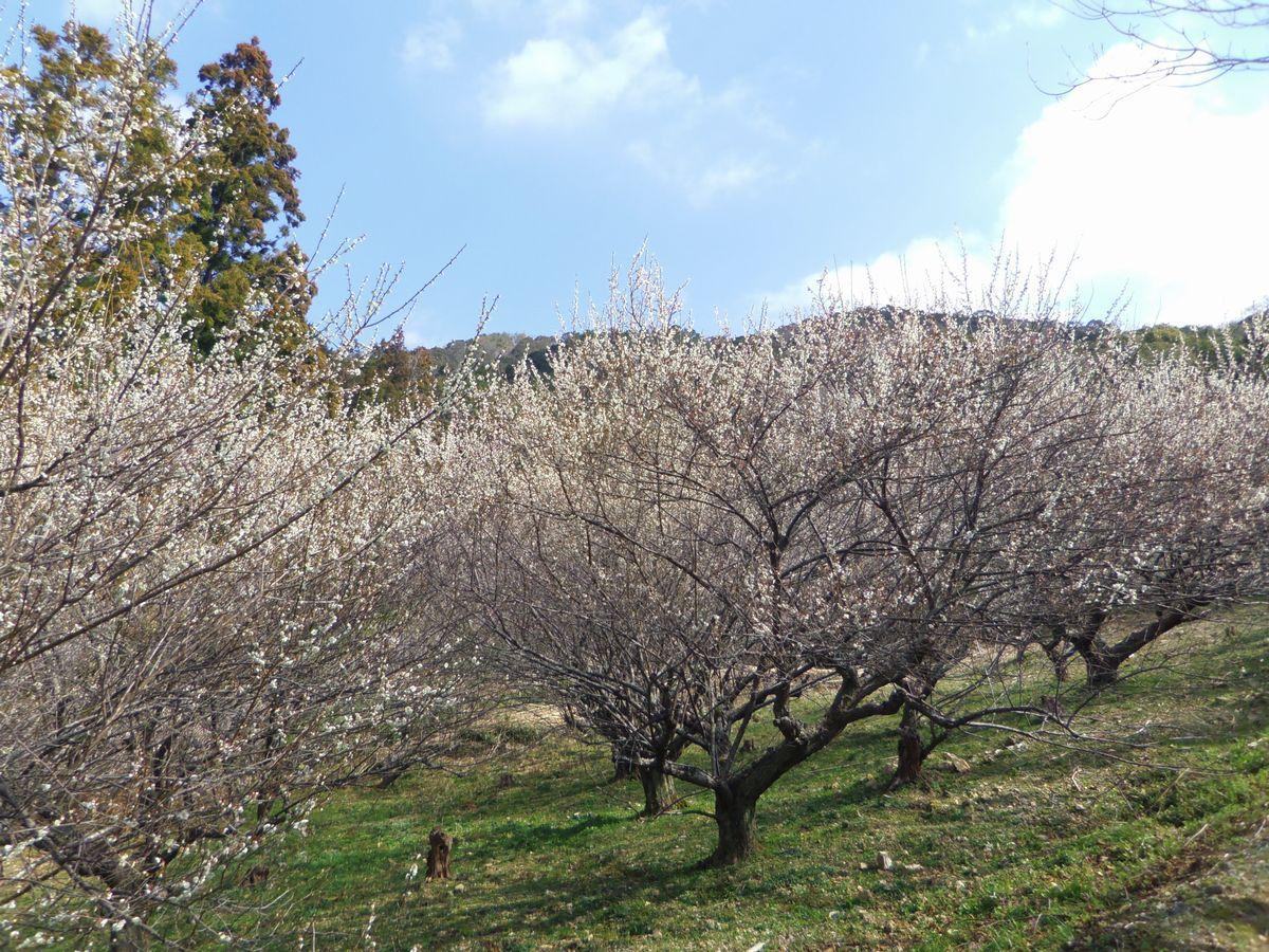 梅×河津桜が楽しめる駐車場