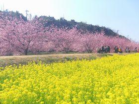 浜松で楽しむ河津桜×菜の花!東大山と桜台の河津桜並木