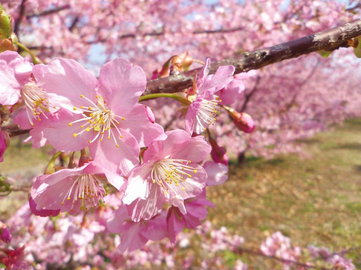 静岡県西部エリア最大級の河津桜並木