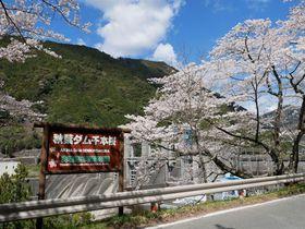 ダム湖畔が桜色に染まる!浜松「秋葉ダム千本桜」
