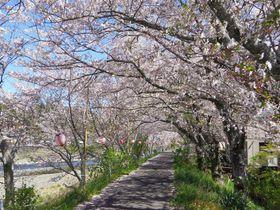 1000本続く桜のトンネル!静岡森町「太田川の桜堤」