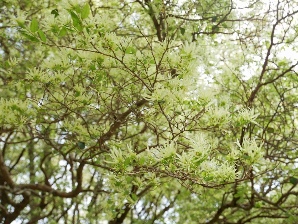 トキワマンサクの花色は淡いクリーム色