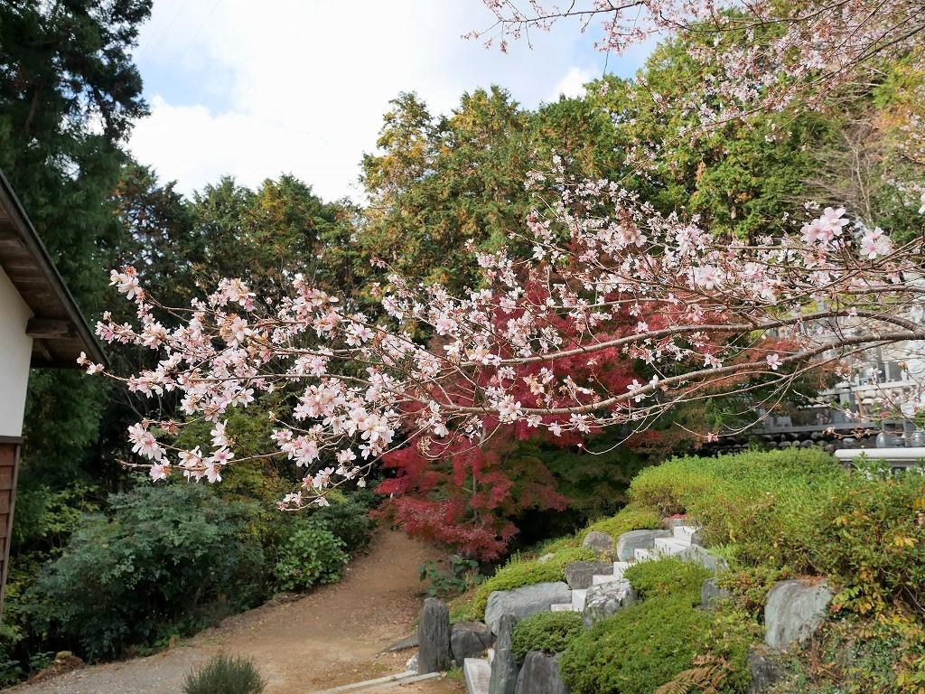 11月下旬からは紅葉×四季桜