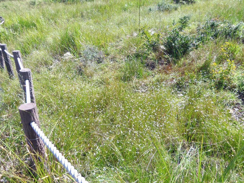 湿地に咲く星・シラタマホシクサを見よう