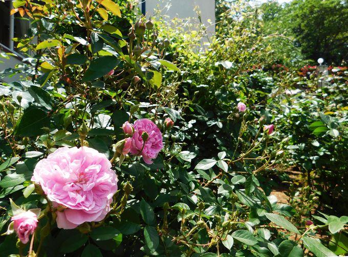 美しき薔薇の楽園「ローズシンフォニーガーデン」