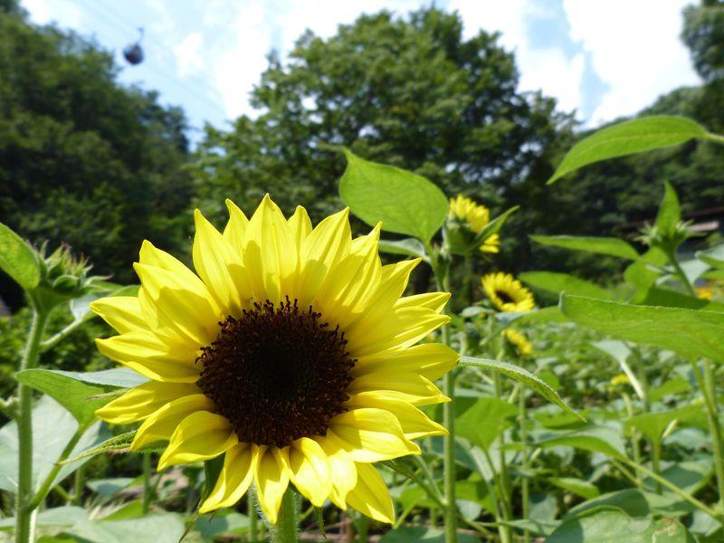 ひまわりと光の森に遊ぶ夏!神戸布引ハーブ園 GARDEN FEST 2019-Summer-
