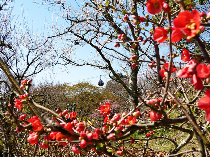 梅・ハナナ・レンギョウ・スイセン…春の花が花盛り!