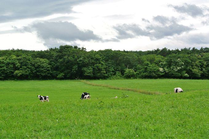 牛をまじかに観察できる