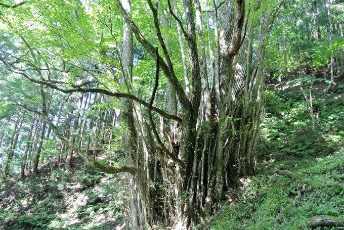 国の天然記念物「竹崎のカツラ」