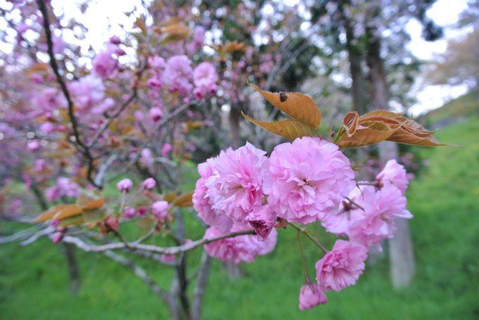 近くを流れる三刀屋川堤防の桜も必見