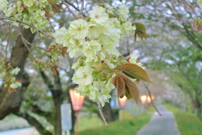 緑色をした不思議な桜