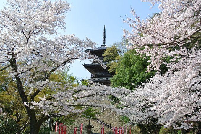 桜と三重の塔の美しさは秀逸