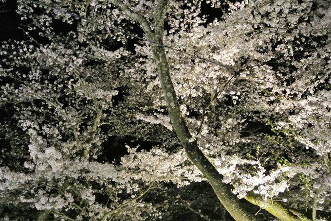 夜桜も楽しめるスポット