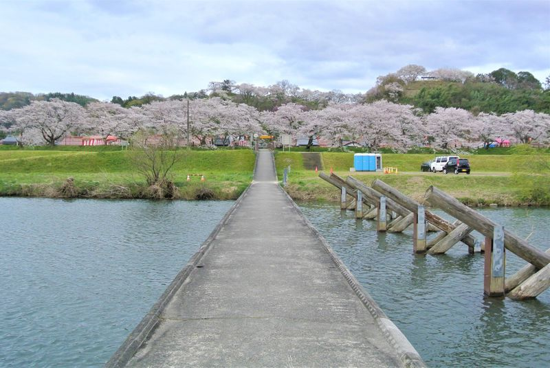 出雲神話の舞台!島根「斐伊川堤防桜並木」で絶品の桜を堪能!