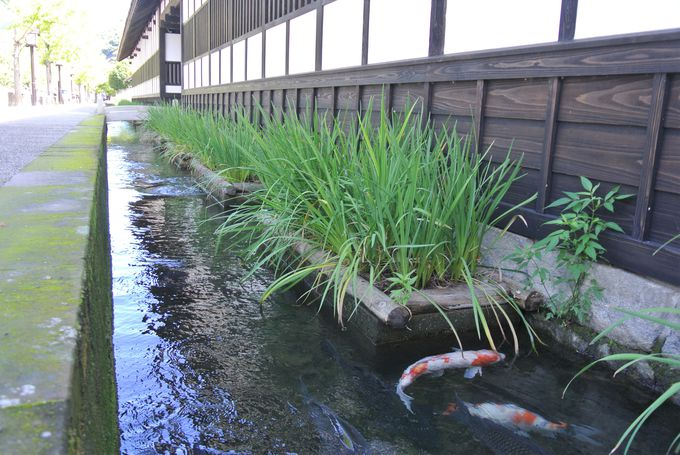 鯉が泳ぐストリート