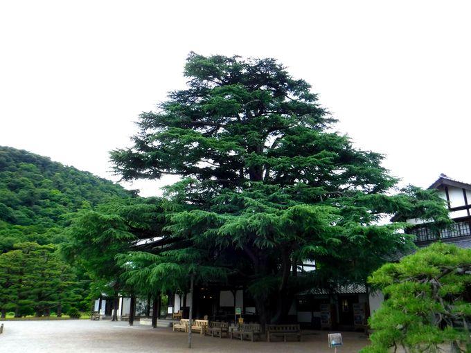 樹齢110年以上のヒマラヤ杉がすごい!